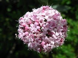 Valeriana una pianta utile a rilassare e al riposo
